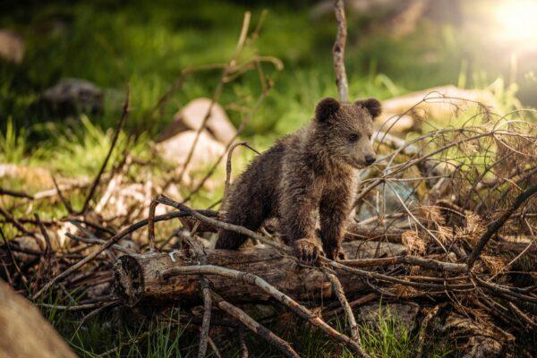 Bären im Wisentgehege